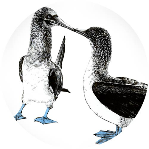 Blue-footed Boobies | Personal work