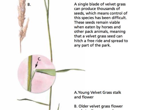Velvet Grass
