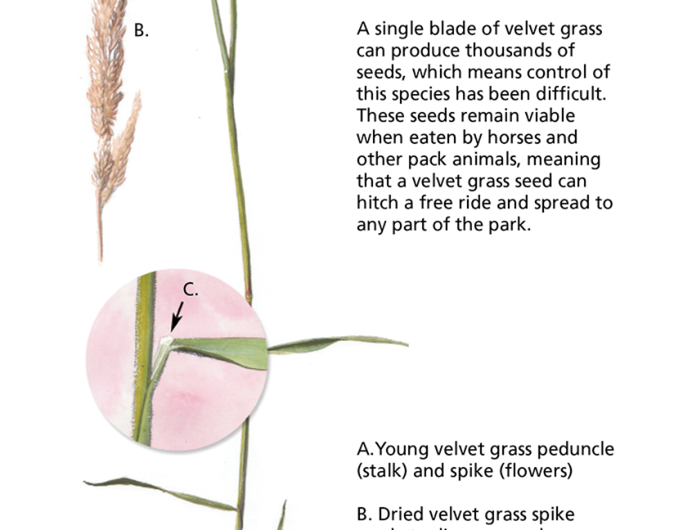 Invasive Plant Illustration