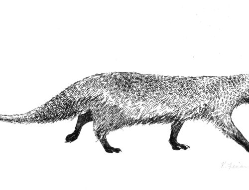 Mongoose Pen and Ink Illustration