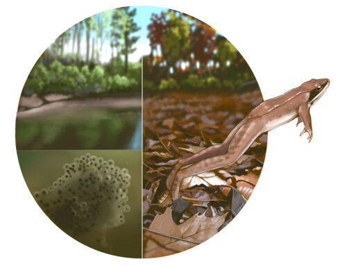 Vernal Pool and Wood Frog